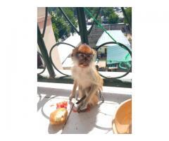 Capuchin Monkeys For Adoption