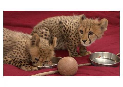 Serval,F1 - F5 Savannah,Caracal,Ocelot and Cheetah kittens