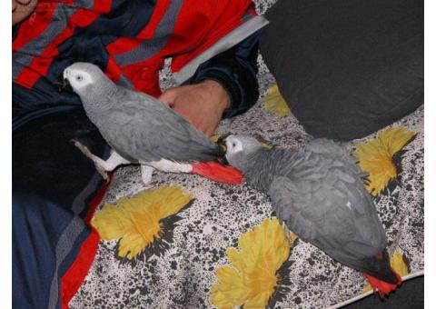 African grey parrots for sale whatsapp 00237651468939