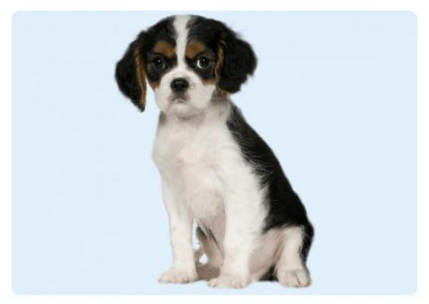 Cavalier King Charles Spaniel Size
