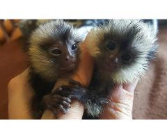 Marmoset monkeys available.