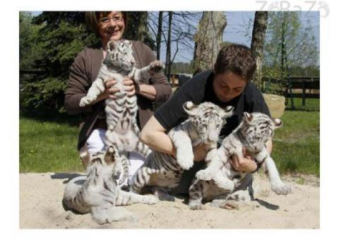 White Tiger cubs for sale|Cheetah Cubs for sale|Lion cubs for Sale