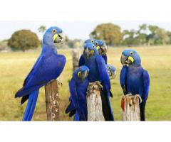 African Grey Parrots For Sale whatsap (+1615-492-1836)