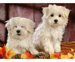 Brightful teacup Maltese puppies available for sale now