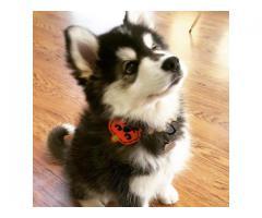 lovely pomsky ready for adoption