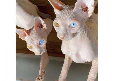 Sphynx kittens for adoption