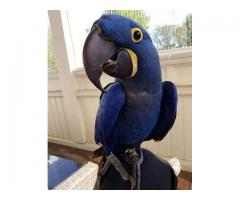 Adorable Talking Hyacinth Macaw