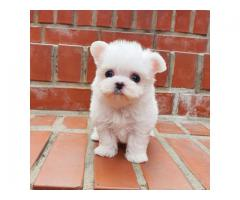 Potty Trained Teacup Maltese Puppies for sale