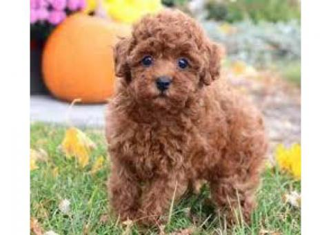 Toy poodle puppies ready now