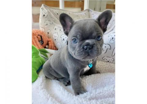 Mini French Bulldog Puppies For Sale