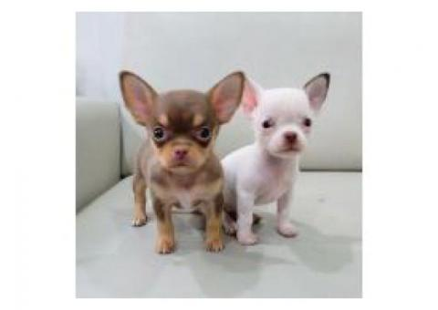 Cute Teacup Chihuahua Puppies For Sale