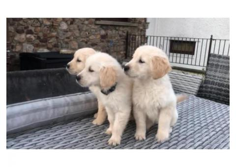 Golden Retriever For Sale Ready To Go