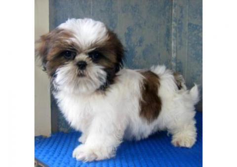 Awesome Teacup Shih Tzu puppies for sale