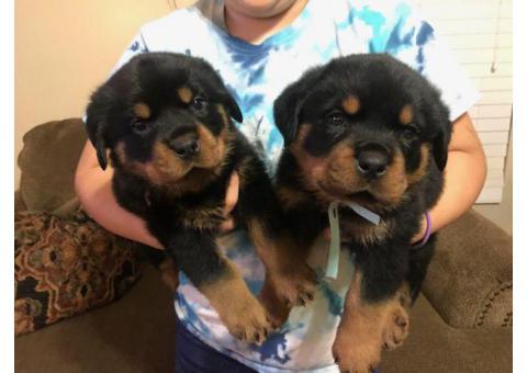 Friendly Rottweiler puppies
