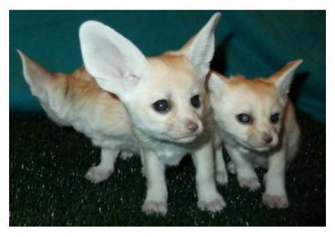 Lovely Registered Fennec fox for sale