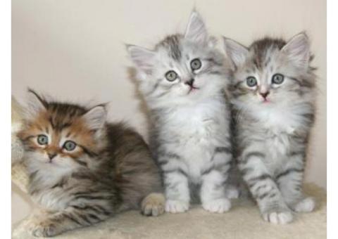 Lovely Siberians Kittens for sale
