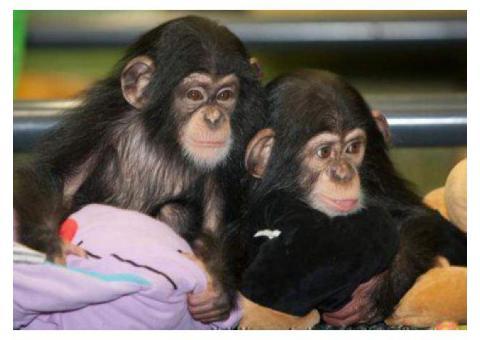 Cute Chimpanzee Monkeys for Sale