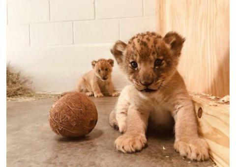 Adorable Lion Cubs for sale